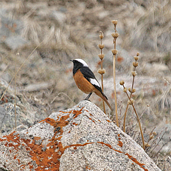 White-winged Redstart