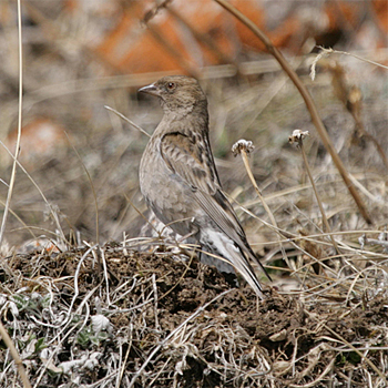 Plain Mountain-finch
