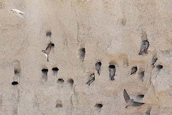 Pale Sand Martin colony