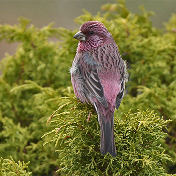 Red-mantled Rosefinch