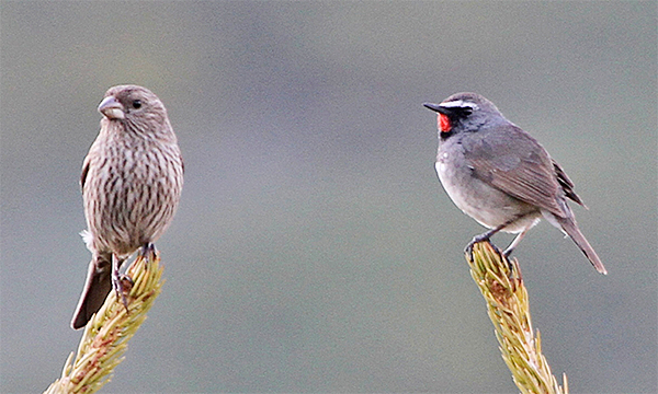Red-mantled Rosefinch and Himalayan Rubythroat