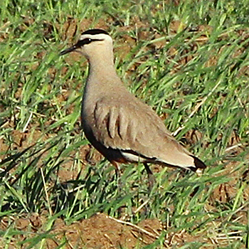 Sociable Lapwing (male)