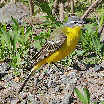 Western Yellow (Sykes's) Wagtail