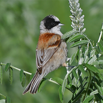 White-crowned Penduline-tit