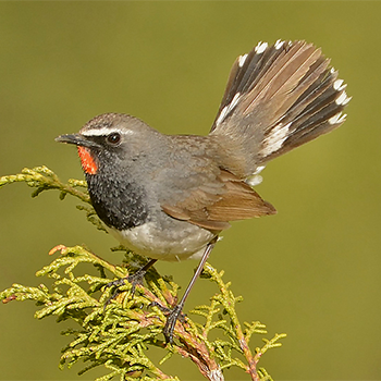 White-tailed Rubythroat
