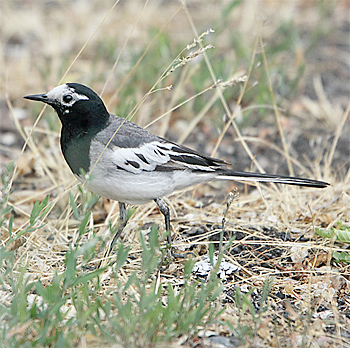 White (Masked) Wagtail