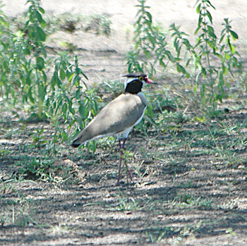 Black-headed Lapwing