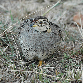 Coqui Francolin - female