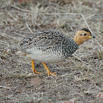 Coqui Francolin - male