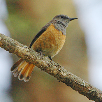 Little Rock-thrush