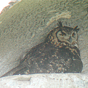 Cape (Mackinder's) Eagle-owl