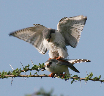 Pygmy Falcons