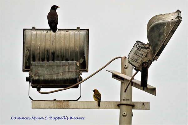 Common Myna and Rüppell's Weaver