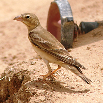 Pale Rockfinch