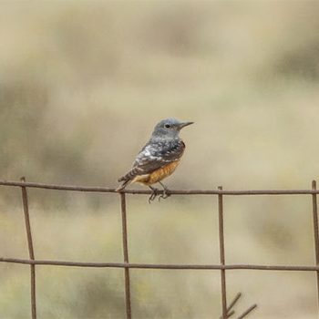 Rufous-tailed Rock-thrush
