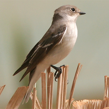Semicollared Flycatcher