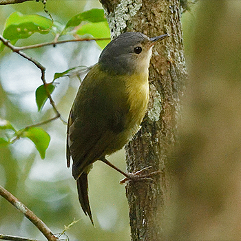 Grey-crowned Tetraka