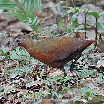 Madagascar Wood-rail