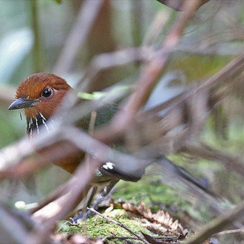Rufous-headed Ground-roller