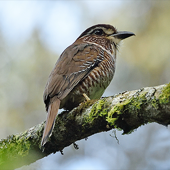 Short-legged Ground-roller