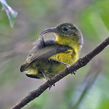 Yellow-bellied Asity