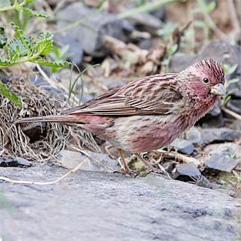 Chinese Beautiful Rosefinch