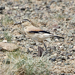 Mongolian Ground-jay