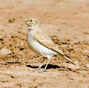 Bar-tailed Desert Lark