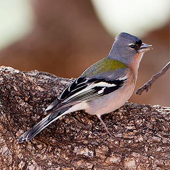 Common Chaffinch (<em>africana</em>