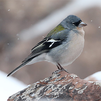 Common Chaffinch (<em>africana</)