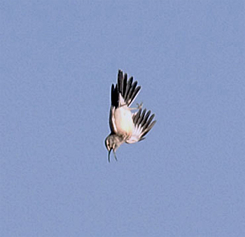 Hoopoe Lark displaying