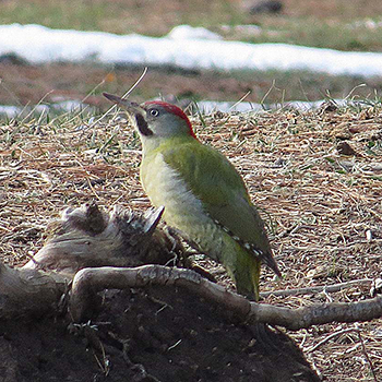 Levaillant's Woodpecker