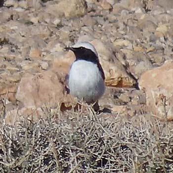 Mourning (Maghreb) Wheatear