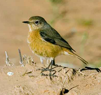 Female Moussier's Redstart