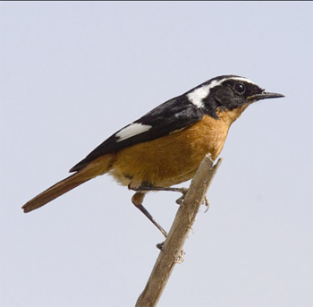 Male Moussier's Redstart