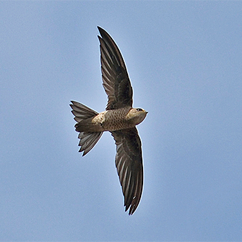 Bradfield's Swift