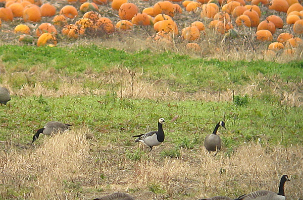 Barnacle Goose and Canada Geese