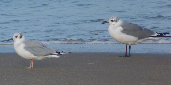 Bonaparte's Gull and Laughing Gull