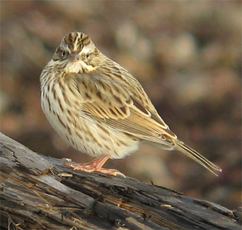 Savannah (Ipswich) Sparrow