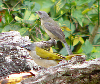 Buff-throated Saltator and juv Blue-and-yellow-tanager
