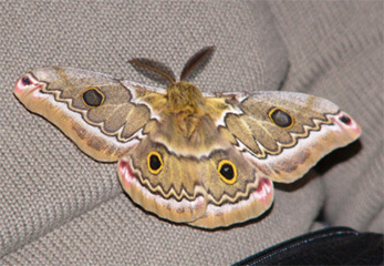 Cloud Forest Moth