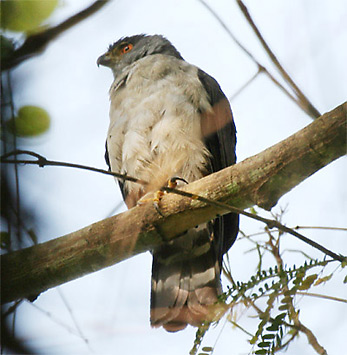 Grey-bellied Goshawk
