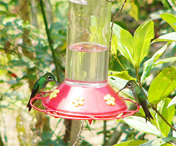 Many-spotted Hummingbirds