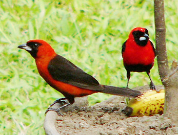 Masked Crimson Tanagers