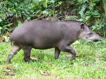 Female Lowland Tapir at Manu Wildlife Center