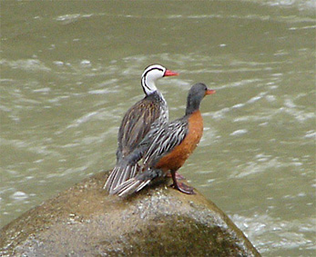 Male and Female Torrent Ducks