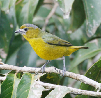 White-lored Euphonia