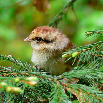 Hazel Grouse chick