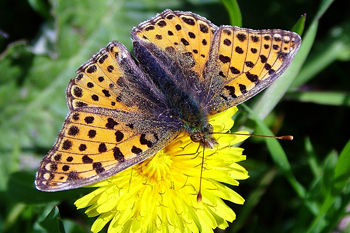 Queen-of-Spain Fritillary