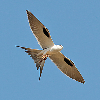 Scissor-tailed Kite